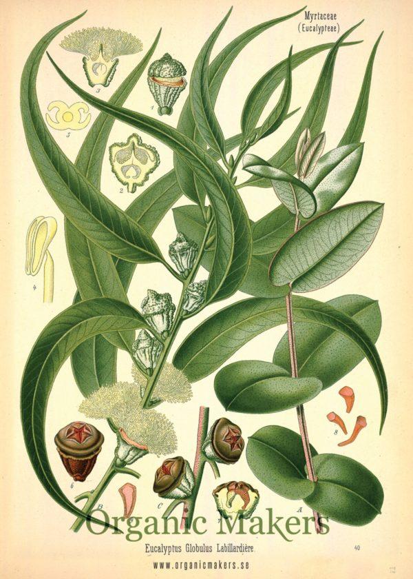 Eterisk olja Eukalyptus Globulus - Ekologisk