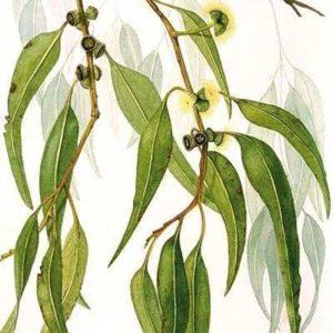 Eterisk olja Citroneukalyptus - Ekologisk